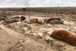 Banjir Besar di Australia Sebabkan Matinya Ratusan Ribu Sapi