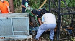 BBKSDA Riau Berhasil Tangkap Harimau Sumatera Yang Meresahkan Warga di Teluk Lanus Siak