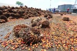 Harga Sawit dan Karet Turun Terus, Komisi V DPRD Riau Minta Pemerintah Pusat Beri Kejelasan