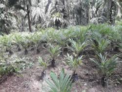 Harga Sawit di Riau Kembali Naik, Umur 10 Tahun Rp 2.241,15/kg