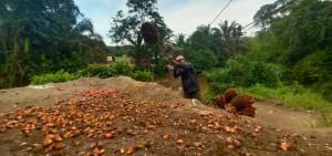 Harga Sawit Riau Kembali Naik Menjadi 2.749,02/kg Akibat Menguatnya Perdagangan CPO Dunia