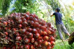 Harga Sawit Riau Melonjak Naik Rp. 158,94/Kg Untuk Umur 10 Tahun Periode 14 - 20 Juli 2021