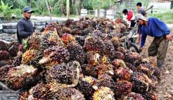 Harga Sawit Riau Naik Tipis Jadi Rp 2.310/kg Untuk Umur 10 Tahun Periode 10-16 Maret 2021