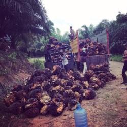 Harga Sawit Riau Periode 17-23 Februari 2021 Naik Rp 21,47 per Kilogram