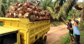 Harga TBS Kelapa Sawit Riau Naik Lagi Untuk Periode 28 Juli - 03 Agustus 2021