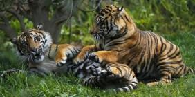 Harimau Sumatera Mati di Kebun Binatang London saat Dijodohkan dengan Pejantan