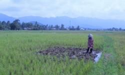 Hujan Turun, Petani di Agam Turun ke Sawah