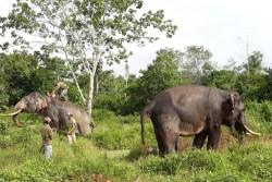 Habitat Semakin Sempit, Gajah di Riau Dekati Kebun dan Pemukiman Warga