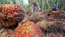 Lagi dan Lagi, Harga TBS Kelapa Sawit di Riau Turun Rp49,76 per Kilogram