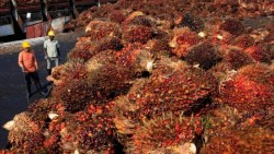 Naik Rp 60,91/Kg, Berikut Harga Sawit Sumatera Selatan Periode Februari 2019