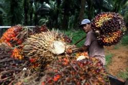 Pekan Ini Harga TBS Kelapa Sawit Riau Alami Kenaikan Tertinggi