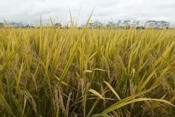 Pemprov Riau Siapkan 30 Ribu Hektar Lahan Untuk Food Estate