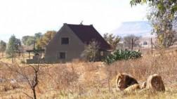 Penginapan Ini Dikelilingi 77 Singa Dewasa