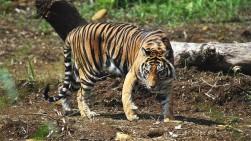 Seorang Warga Riau Kembali Diterkam Harimau