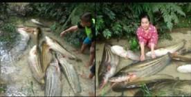 Takjub, Nelayan Koto Tuo Temukan Tapah Raksasa Seberat 15 Kg
