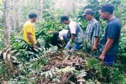 Tiga Ekor Harimau Berkeliaran di Perkebunan Warga di Riau