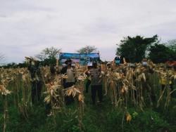 Wujudkan Ketahanan Pangan Nasional, Polsek Rajeg Panen Raya Jagung Hibrida Ditengah Pandemi